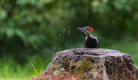 Young juvenile female Pileated woodpecker explores her world. Stock Photo