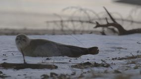 Young, juvenile gray, common seal pup lying on snow during a cold winters day in january, scotland. Moray stock footage