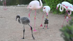 A young juvenile Greater Flamingo Phoenicopterus roseus stands practicing walking after being a newly hatched baby out of the eg. G stock footage