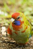 Young (Juvenile) King Parrot uses claw to eat Royalty Free Stock Image
