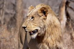 Young juvenile male lion Stock Photo