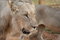 Young juvenile male lion Stock Images