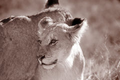 Young juvenile male lion Stock Photography
