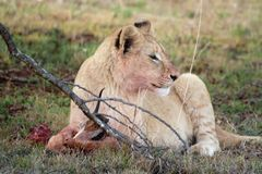 Young juvenile male lion Royalty Free Stock Image