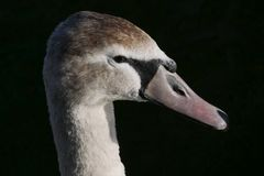 Young / juvenile mute swan close up on head and neck. Water droplets on face and sharp focus on eye. Beautiful young / juvenile mute swan close up on head and royalty free stock photos