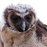 Young juvenile owl in closeup Royalty Free Stock Photos