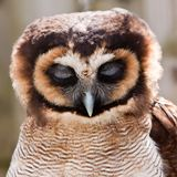 Young juvenile owl in closeup Royalty Free Stock Images