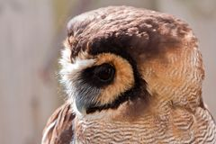 Young juvenile owl in closeup Stock Images