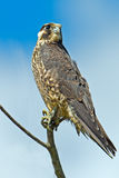 Peregrine Falcon. Young Juvenile Peregrine Falcon sitting in a tree Royalty Free Stock Image