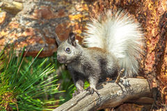 Young Kaibab Squirrel. Young White Tailed Kaibab Squirrel Standing On Limb Of A Ponderosa Pine Tree Stock Photos
