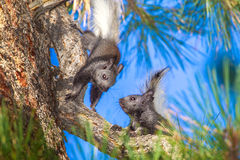 Young Kaibab Squirrels. Two Young Kaibab Squirrels Playing in Ponderosa Pine Tree Royalty Free Stock Image