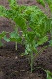 Young kale Stock Photos