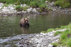 Young Kamchatka bear fishing in a river in summer. Young Kamchatka bear fishing in a river in august. He is waiting for a spawning salmon. Bears are masters of Royalty Free Stock Photography