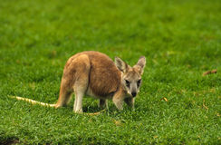 Young Kangaroo Stock Photo