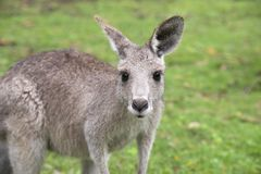 Young kangaroo Royalty Free Stock Images