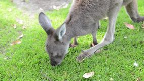Young kangaroo eating, Australia stock video
