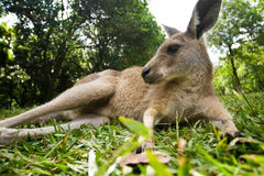 Young kangaroo lying down in the grass Stock Photo