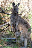 Young kangaroo in mothers pouch. Young kangaroo looking curious in mothers pouch Stock Photo