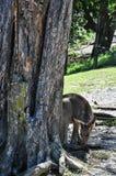 Young kangaroo next to tree trunk Stock Photo