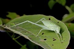 Young katydid. A katydid in young stage is staying on the leaf Royalty Free Stock Photography
