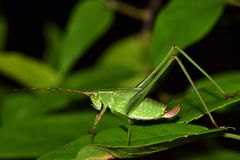 Young Katydid in a clump of leaves. royalty free stock photography