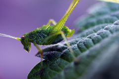 Young katydids crickets Phaneroptera nana Royalty Free Stock Images