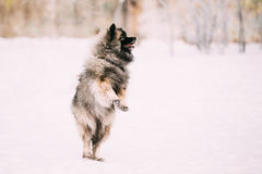 Young Keeshond, Keeshonden dog play and jumping outdoor in snow, Stock Photography