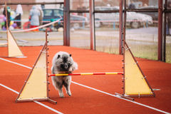 Young Keeshond, Keeshonden Dog Play And Jumping Over Barrier. Young Funny Keeshond, Keeshonden Dog Play And Jumping Over Barrier At Training royalty free stock image