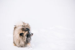 Young Keeshond, Keeshonden Dog Play In Snow, Winter Royalty Free Stock Images
