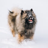 Young Keeshond, Keeshonden Dog Play In Snow, Winter Stock Photography