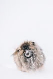 Young Keeshond, Keeshonden Dog Play In Snow, Winter Royalty Free Stock Photography