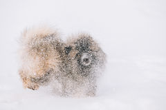 Young Keeshond, Keeshonden Dog Play In Snow, Winter Royalty Free Stock Image