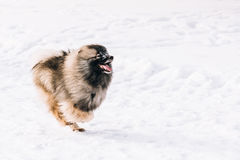 Young Keeshond, Keeshonden Dog Play In Snow, Winter Stock Images