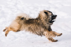 Young Keeshond, Keeshonden Dog Play In Snow, Winter Royalty Free Stock Photo