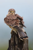 Young Kestrel Royalty Free Stock Photo
