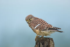 Young Kestrel Royalty Free Stock Images