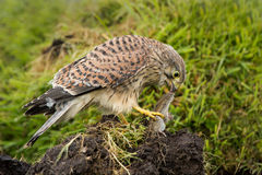 Young Kestrel eating a prey Royalty Free Stock Photos
