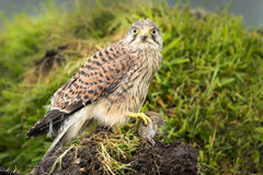 Young Kestrel eating a prey Stock Image