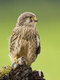 Young Kestrel eating a prey Stock Photography