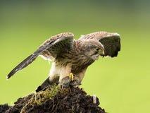 Young Kestrel eating a prey Stock Photos