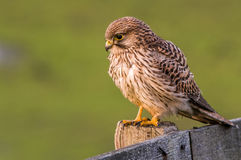 Young Kestrel on fence. Young Kestrel sitting on a fence. Enjoying the afternoon sun Royalty Free Stock Images
