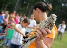 Young kestrel in the hand of an environmentalist. Stock Images