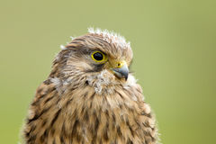 Young Kestrel with nest feathers Royalty Free Stock Photo