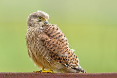 Young Kestrel with nest feathers Stock Images