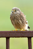 Young Kestrel with nest feathers Stock Photos