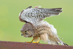 Young Kestrel with nest feathers Royalty Free Stock Image