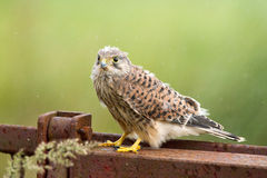 Young Kestrel with nest feathers Stock Image