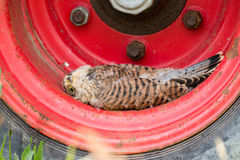 Young Kestrel with nest feathers Royalty Free Stock Images