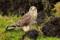 Young Kestrel with nest feathers Royalty Free Stock Photos