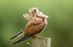 Young Kestrel polish the feathers Stock Photo